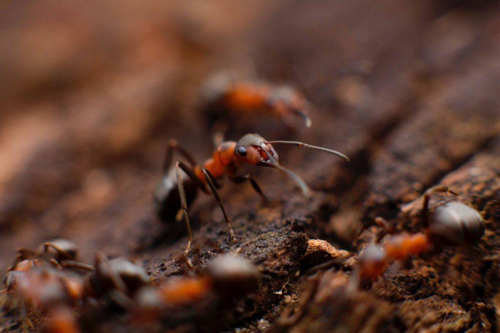 Red ants clolseup
